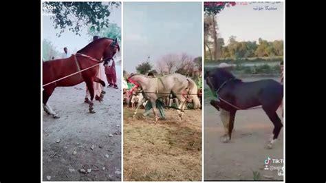 tik tok horse pakistan dance india song punjabi