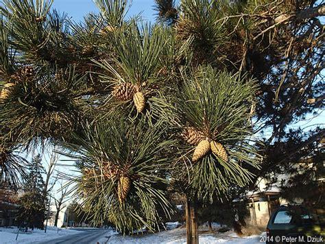 pinus nigra austrian pine minnesota wildflowers