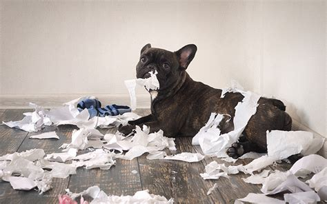 funny dog   mess   room playful puppy french