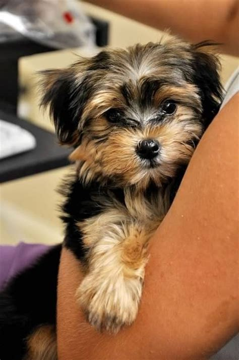 Do Morkie Puppies Shed by Yorkie Maltese Mix 10 Interesting Facts That You Must
