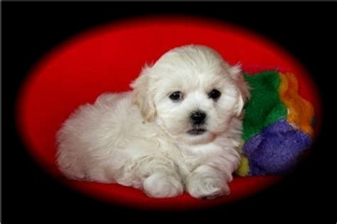 shih poo breeders puppies  sale  ontario perfect