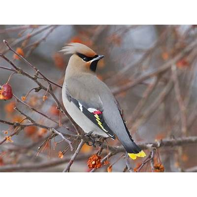 How the Bohemian waxwing gets drunk off fruitMNN