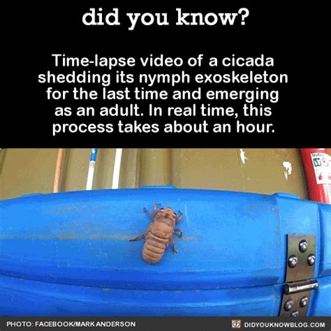 did you know time lapse video of a cicada shedding its