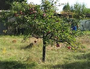 Apfelbaum Hochstamm Kaufen : apfelbaum unterlage kaufen pflanzen f r nassen boden ~ Orissabook.com Haus und Dekorationen