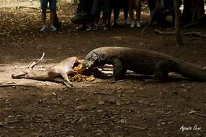 Komodo Dragon Eating Deer