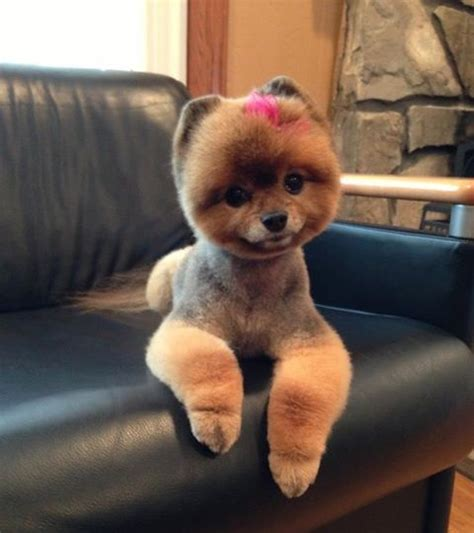 pomeranian teddy bear cut pictures page   paws
