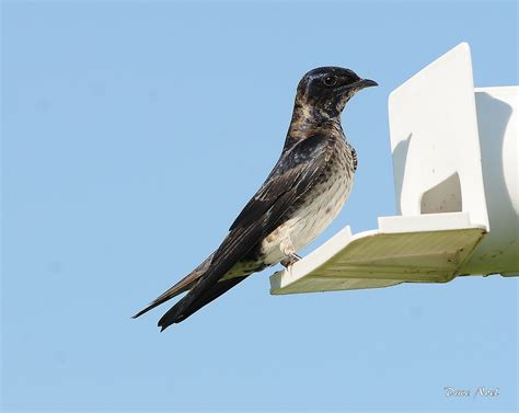 purple martin birds by dave