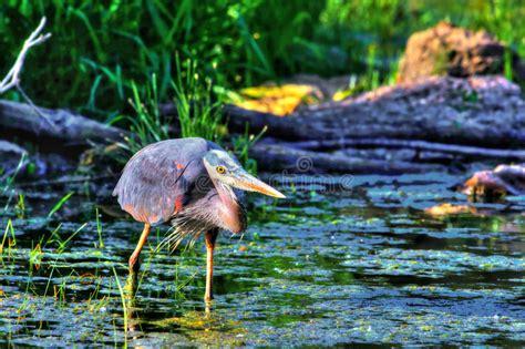 great blue heron fishing in high dynamic range hdr royalty