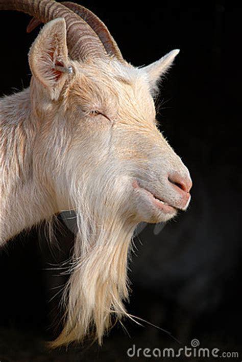 goat beard stock photography image