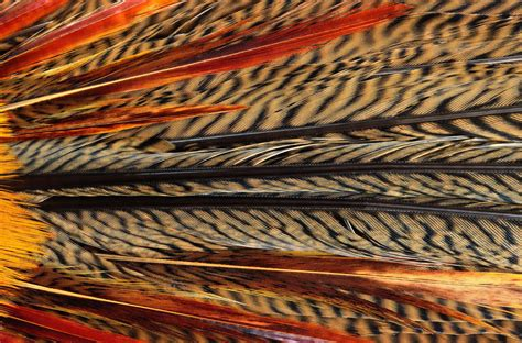 feather peacock texture wallpapers  images