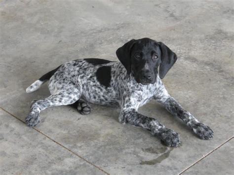 100 best images about German Short Haired Pointers on