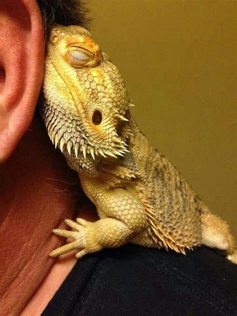 bearded dragon heat l wattage les 52 meilleures images du tableau nature surprenante sur