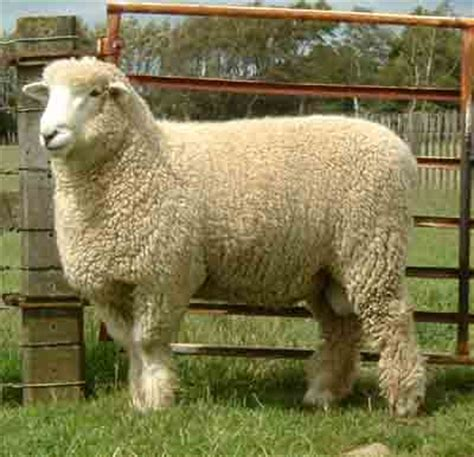 romney sheep characteristics breed information modern