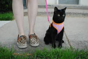 walking a cat on a leash how to leash your cat
