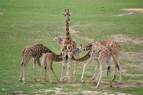 Baby Giraffes Steal Milk, And Adults Let Them Do It
