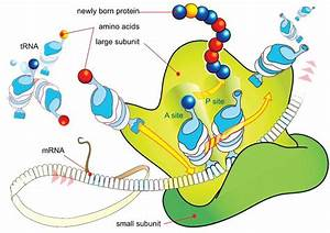 Biology   Cell Ribosome