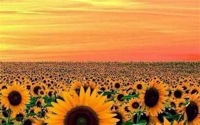 Aesthetic Wallpapers Orange Yellow Sunflower
