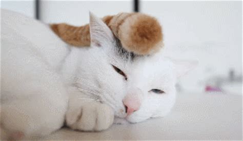 Sleepy Cat Gif  Find & Share On Giphy