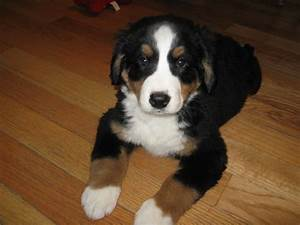 Best 25+ Bernese mountain dog mix ideas on Pinterest ...