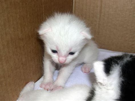 kleine weisse katze kostenloses hintergrundbild
