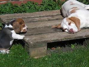 Kleine 2 Unten : beagle news dr barbara rudorf stever beaglezucht z chter welpen hagenburg ~ Orissabook.com Haus und Dekorationen