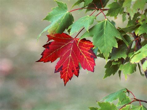 maple tree leaves 301 moved permanently