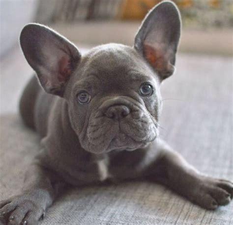 colori bulldog francese staybullo