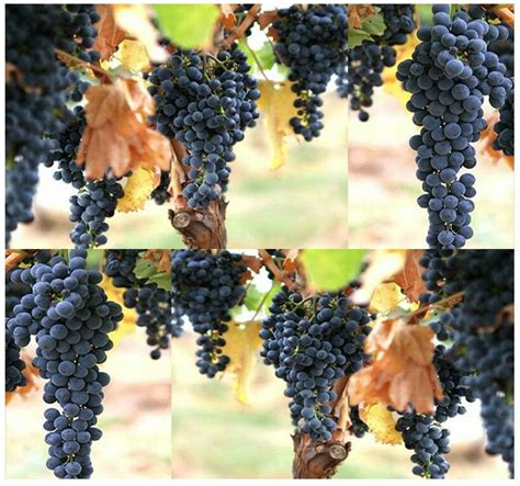 Bulk Wine Grape Domestic Grape Grape Vine Cultivated Vitis