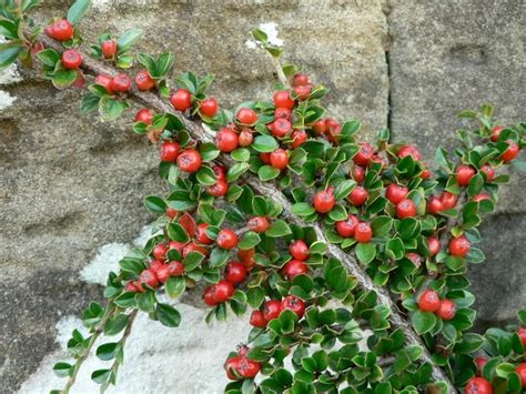 berried shrub file bush branch with red berries jpg wikimedia commons