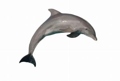 Dolphin Background Bottlenose Jumping Atlantic Transparent Dolphins