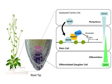 biologists demonstrate  signals  plant roots