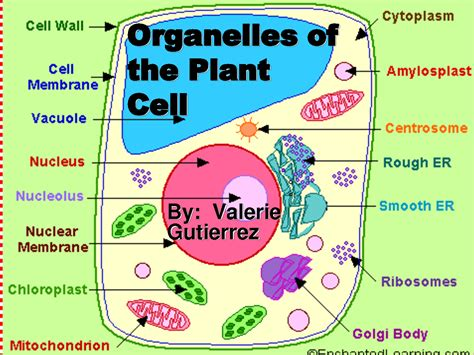 Organelles Of The Plant Cell Pic 1  5 Pictures Of Plant Cell Organelles  Biological Science