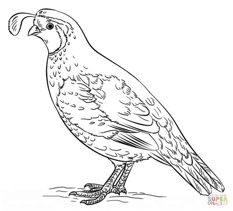 Quail Coloring Page California Quail Coloring Page Coloring Pages