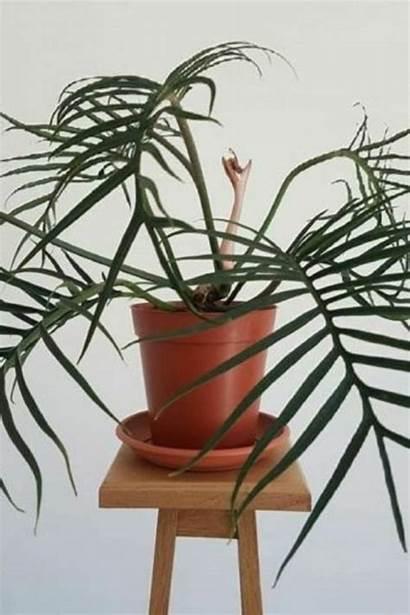 Tortum Philodendron Plants