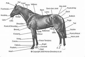 Horse Directory Points Of A Horse Picture