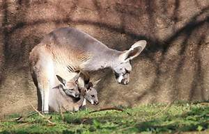 Along for the ride! Two kangaroo joeys in one pouch at ...