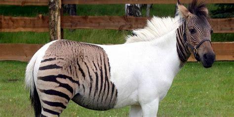 hybrid zebroid zebra animals horse crossbreed crossbred animal hybrids exist between cat blow dinoanimals species irl furry believe actually hard
