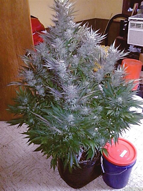 strain gallery sugar black rose delicious seeds pic