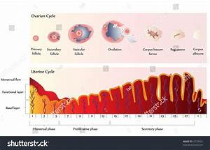 Ovulation Chart Showing Ovarian Cycle Uterine Stock
