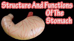 Structure Of The Stomach - Functions Of The Stomach