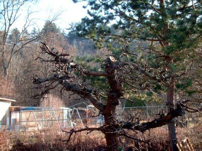 apfelbaum krankheiten stamm apfelbaum sch 228 dlinge und krankheiten 187 gartenbob de der gartenratgeber