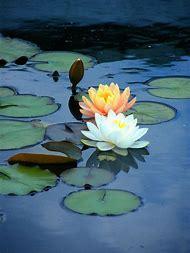 Water Lily Lotus Flower