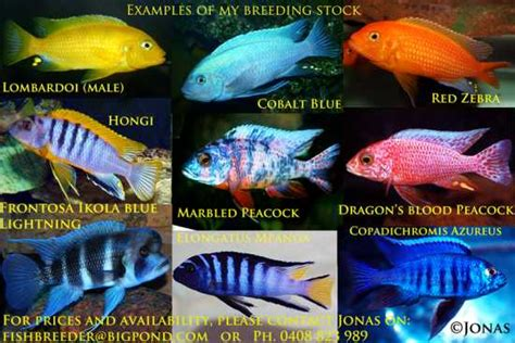 african cichlids colourful types fish