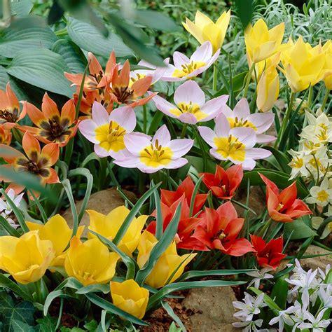 van zyverden tulips bulbs  treasures collection set