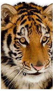 Portrait White Tiger Wallpaper Hd : Siberian White Tiger ...