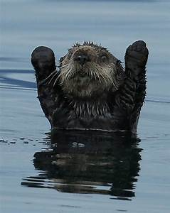 Photography, Of, Cute, And, Funny, Sea, Otter, With, Humanized, Expression