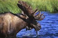 Alaska Animals Wildlife