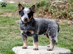 25 best ideas about miniature dog breeds on pinterest