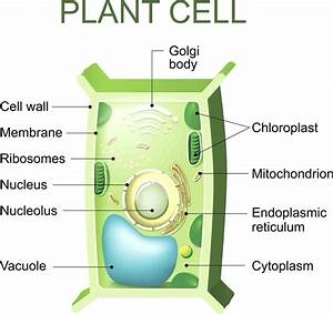 Diagram  Eukaryotic Plant Cell Diagram Labeled