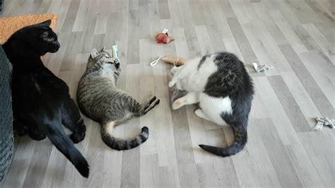 schmuse katzen mit baldrian kissen youtube